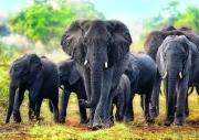 trefl puzzle 1000pz african elephants photo